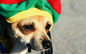 طبق مطالعات جدید سگ ها عاشق موسیقی سبک رگی و سافت راک هستند!!!