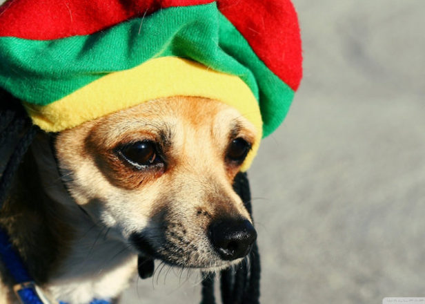 سگ ها عاشق موسیقی سبک رگی و سافت راک