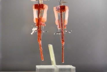 محققان ژاپنی راهی برای تلفیق بافت عضلانی زنده با روبات ها پیدا کرده اند !!!