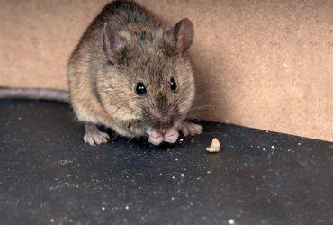 چگونه موش ها و حشرات موذی را از خانه دور کنیم ؟