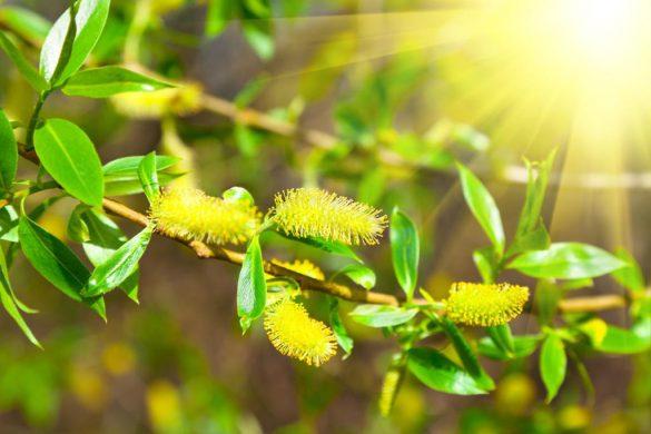 خاصیت ضد سرطانی درخت بید